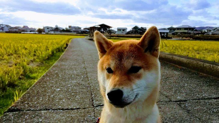 柴犬リキ 特注係留チェーン